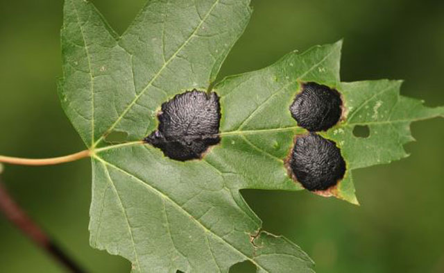 Black Spots On Maple Leaves