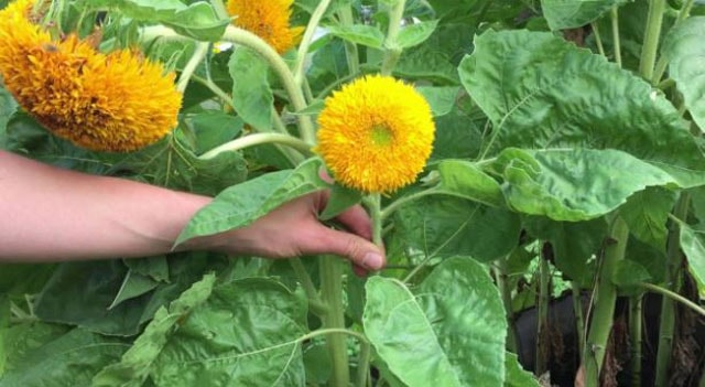 How To Harvest Sunflowers seeds