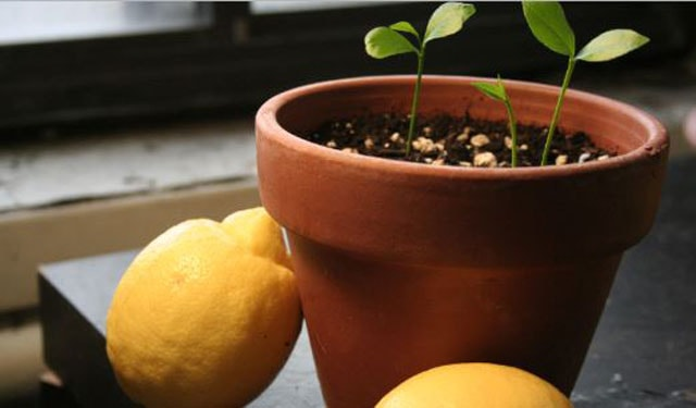 How to Plant Lemon Seeds
