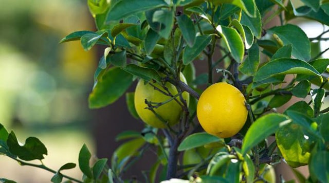 How to grow Lemon Seeds