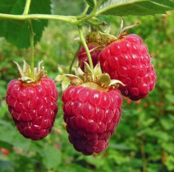 How to harvest Raspberry Bushes