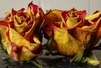 Tips on How to Preserve a Rose