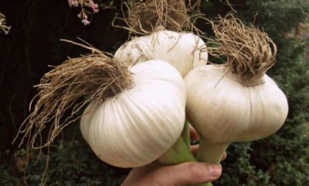 garlic most profitable plant to grow