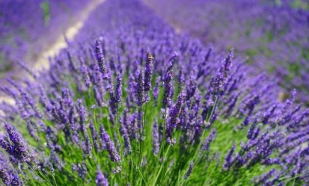 lavender most profitable plant to grow