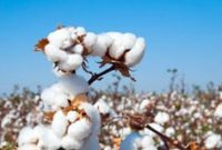 way on How To Grow Cotton