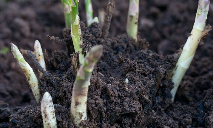 how to grow and care asparagus