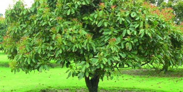 Avocado Tree Care - How To Plant An Avocado Trees