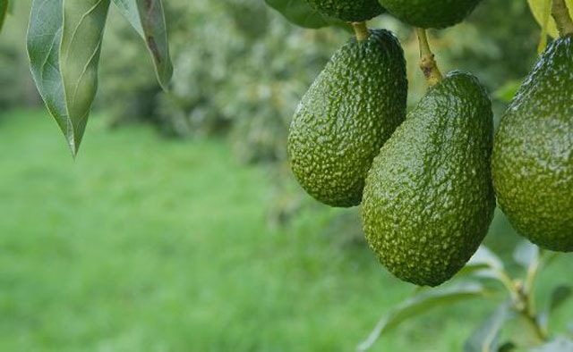 Avocado Tree Care - How To grow An Avocado Tree