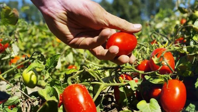 Harvest tomato on Growing Tomatoes in Pots
