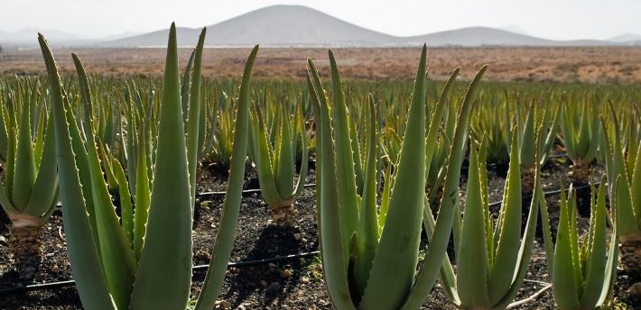 How To Grow An Aloe to harvest