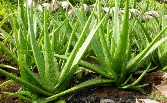 How To Grow An Aloe