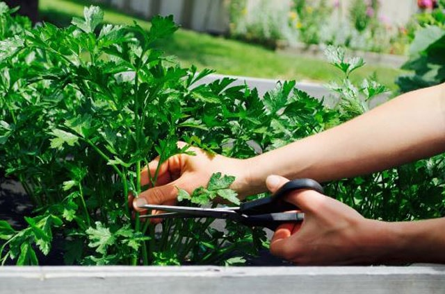 How To Harvest Cilantro