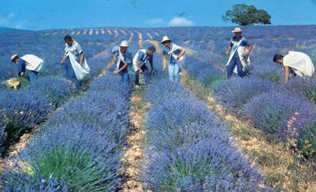 How To harvest Lavender From Seed