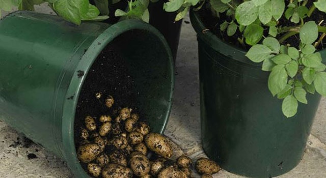 How to Grow Potatoes in a Pot