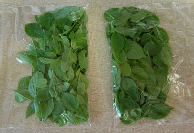How to Harvest Basil and store it