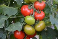 How to Plant Tomatoes from Seeds