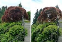 How to Prune a Japanese Maple