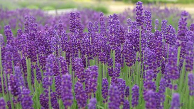 How to grow and How to prune lavender
