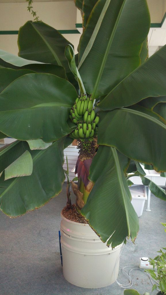 How to plant Banana Trees In Pots