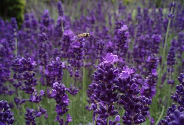 Maintenance of lavender and pests