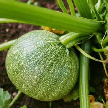 Tips for Growing Spaghetti Squash