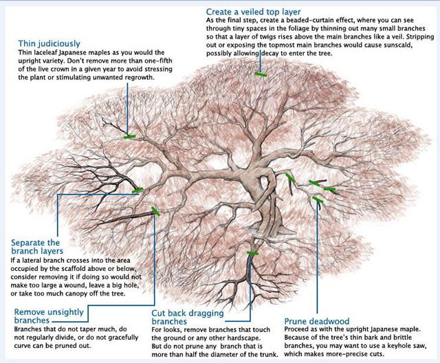 Tips on How to Prune a Japanese Maple