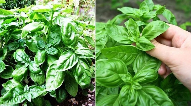Ways How to Harvest Basil