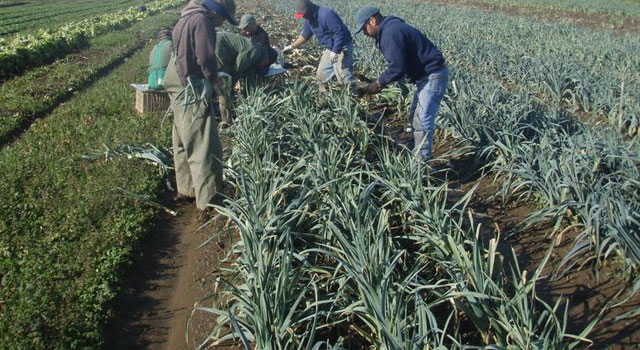 how to grow leeks and harvest