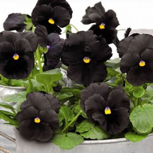 black and white flower Black Pansy