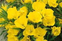 How to Grow Evening Primrose Plant