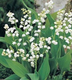 How to Grow Lily of The Valley Flower