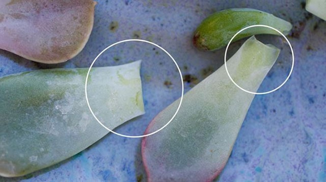 How to Propagate Succulents from its leaves