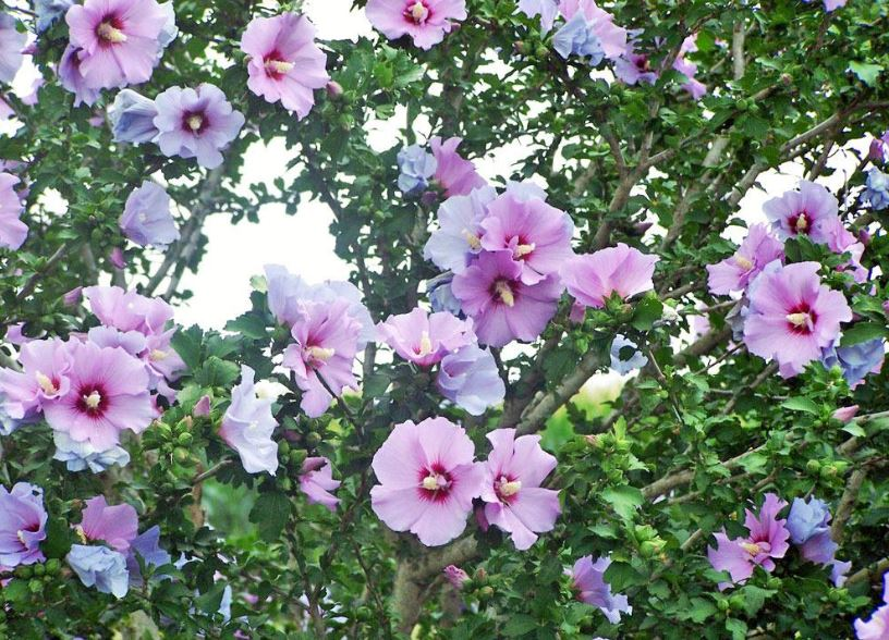 Rose Of Sharon Tree Tree That Is Late Bloomer