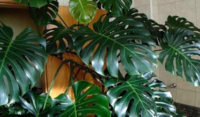 Split-Leaf Philodendron care