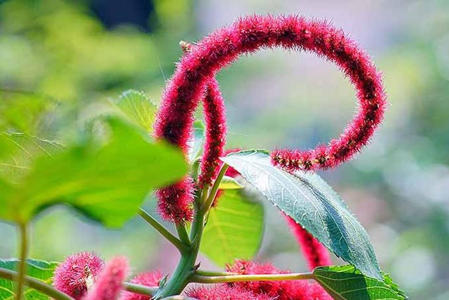The Love Lies Bleeding Plant