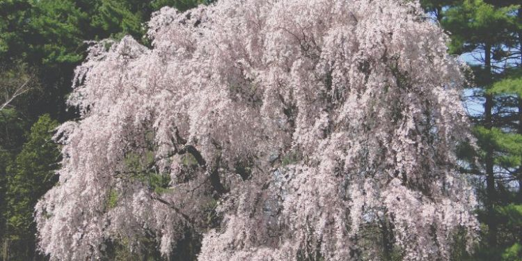 Weeping Cherry Tree Tips Learn About How To Weeping Cherries