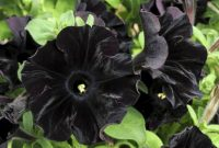 black and white flower Black Petunia