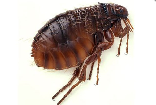 how long do fleas live without a host
