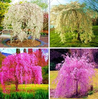 Weeping Cherry Tree Tips