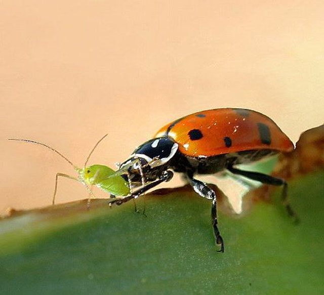 How To Kill Aphids