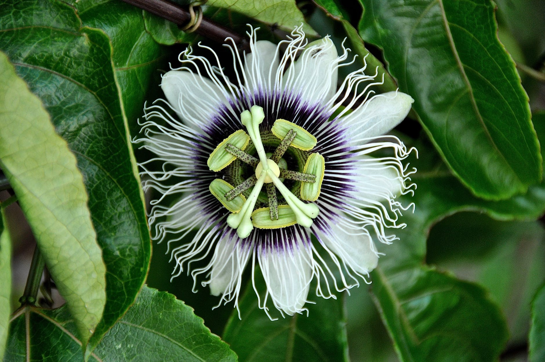 Amazon Rainforest Plants passion flower