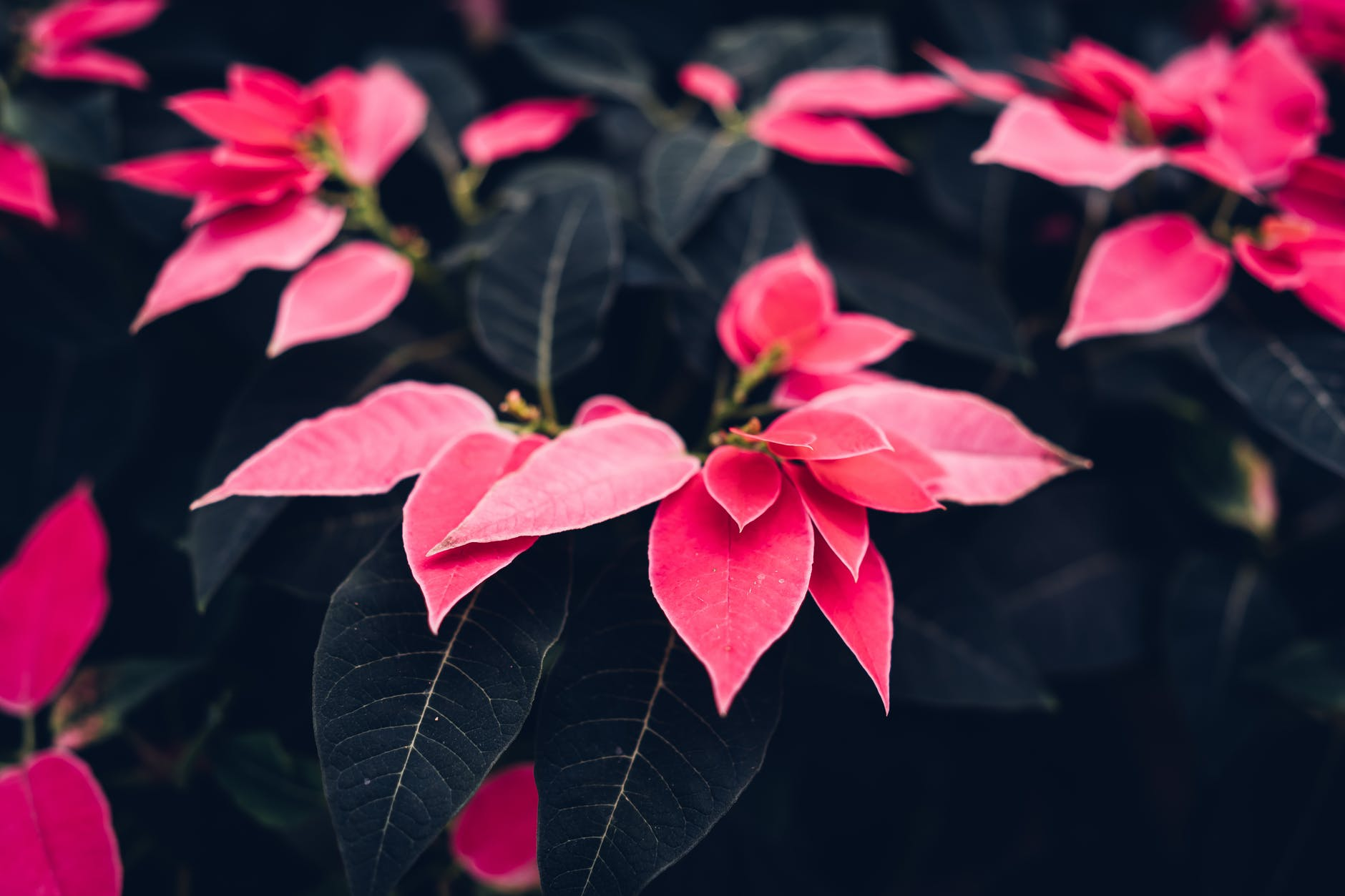 Amazon rainforest plant, Poinsettia