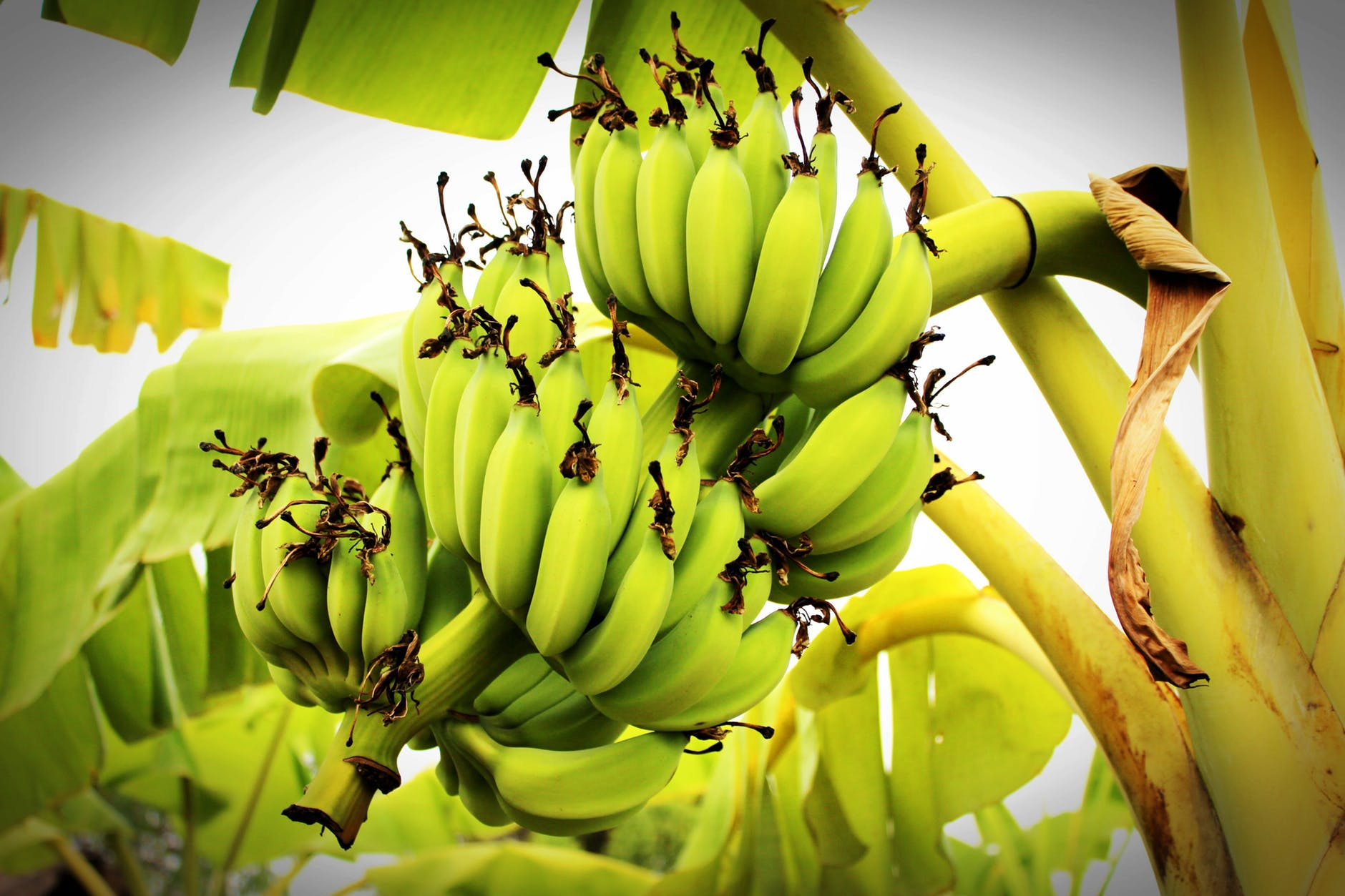 Banana, amazon rainforest plants