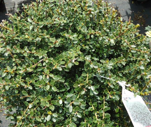 How to Grow Japanese Holly Shrubs
