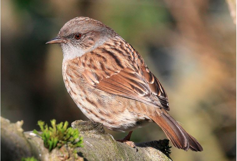 Dunnock British Bird