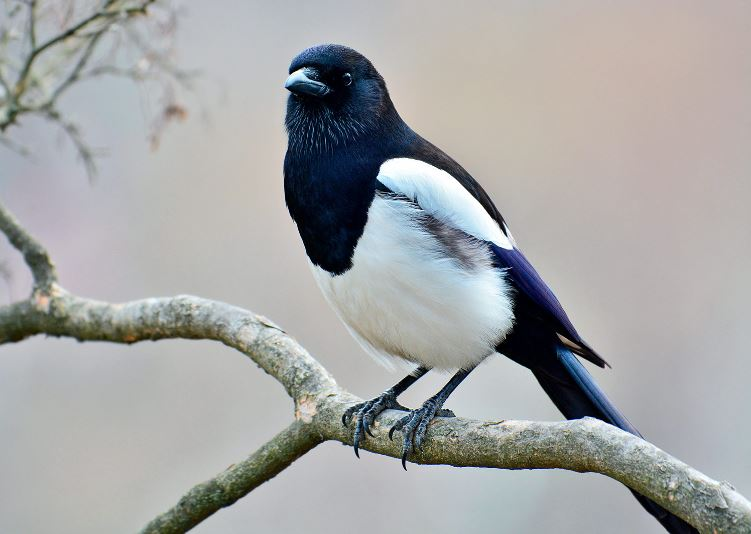 Magpie British bird