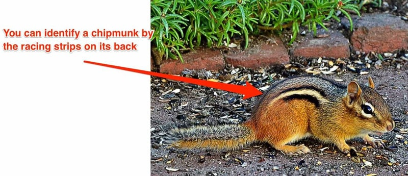How To Identify a Chipmunks