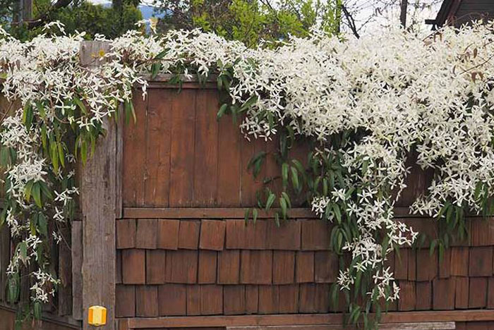 Grow clematis on sun on not is good