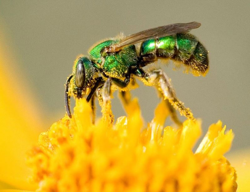 How to repel sweat bees efectively