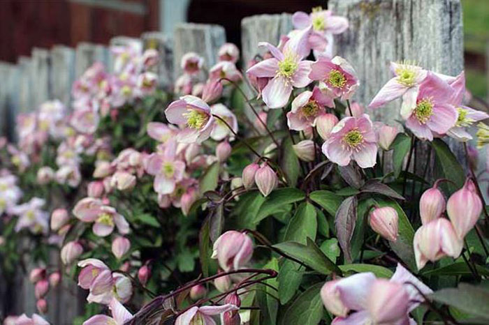 grow clematis plant